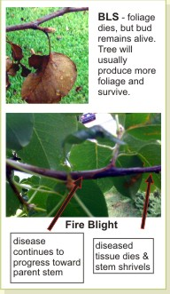 Bradford pear fire blight and bacterial leaf scorch