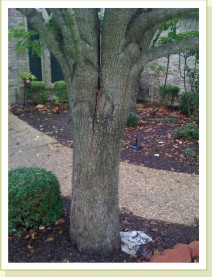 splitting trunk of Bradford pear